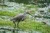 池鹭Ardeola bacchus,Chinese Pond-Heron。 by zqr001