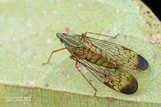 False lanternfly (Dictyopharidae) - DSC_8063