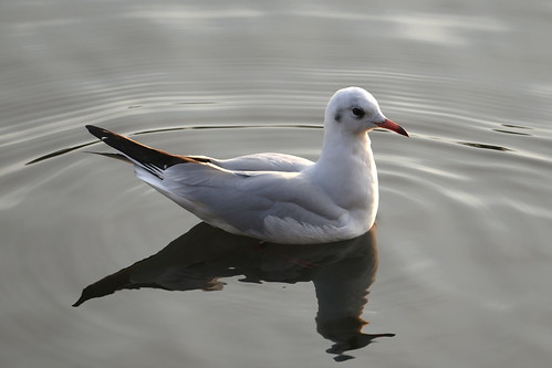 Black-headed Gull | by Andrew Skotnicki