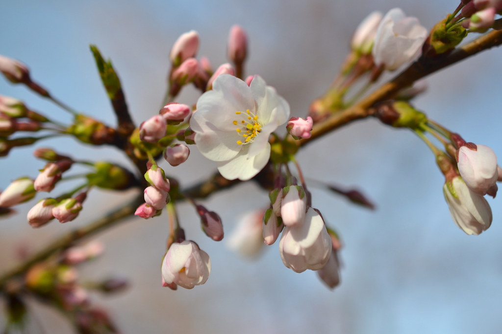 Eight Things You Probably Don't Know About Flowering Cherry