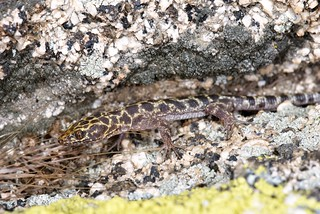 Granite Night Lizard | by Jeremy Wright Photography