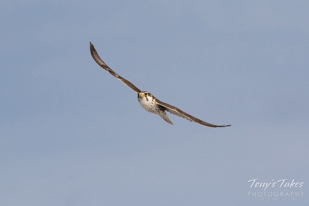 Head on with a Prairie Falcon