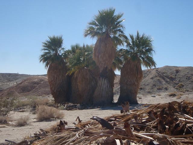 Washintonia filiferia (California Fan palm)