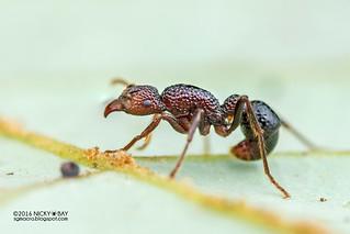 Ant (Gnamptogenys cf. menadensis) - DSC_7904