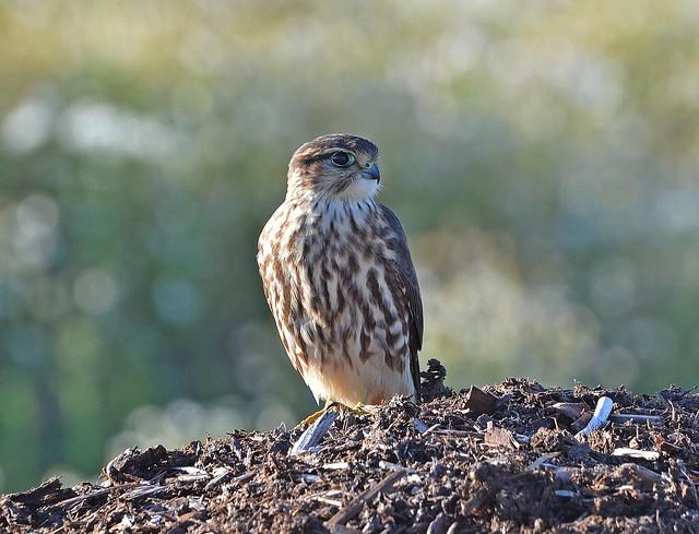 Ampuhaukka, Merlin, Falco columbarius