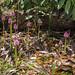 Helonias bullata (Swamp Pink) habitat shot by jimf_29605