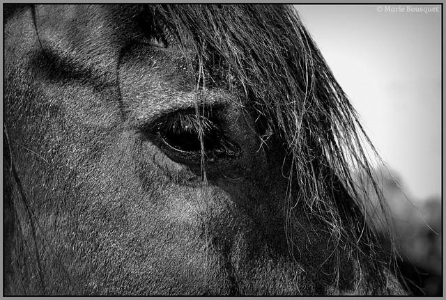 La beauté du cheval noir et dans ses yeux, l'intelligence...