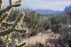 red rock canyon cactus