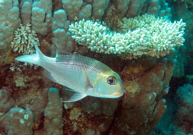 Bigeye Emperor, Monotaxis grandoculis, Ras Mohammad, Red Sea, April 2015