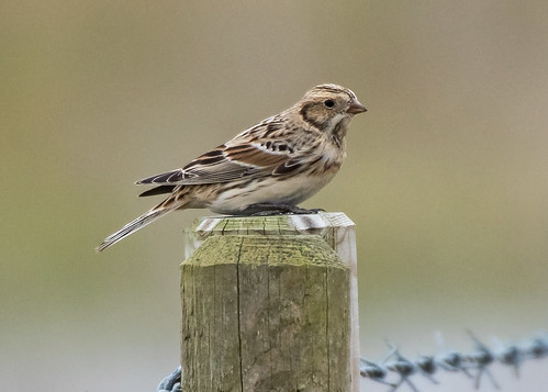 Bunting Lapland bunting Calcarius lapponicus - female  Blakeney Norfolk 21/03/16 | by Mick Sway