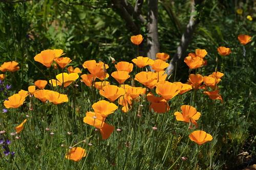flowers plant flower landscape nc northcarolina perennial goldenpoppy eschscholziacalifornica newbern newbernnc tryonpalace californiasunlight eschscholziacalifornicacaliforniapoppy dottylergardens