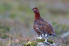 Red Grouse, Farr Road, Highland, UK by Terathopius