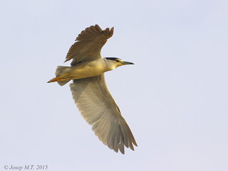 Nycticorax nycticorax | by Josep M.Torrents
