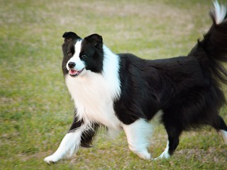 Border Collie | by sonstroem