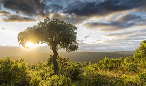 sunrise southafrica cabbagetree mpumalanga lydenburg cussoniaspicata kudusunrise kuduranch kuduprivatenaturereserve kudugameranch kpnr