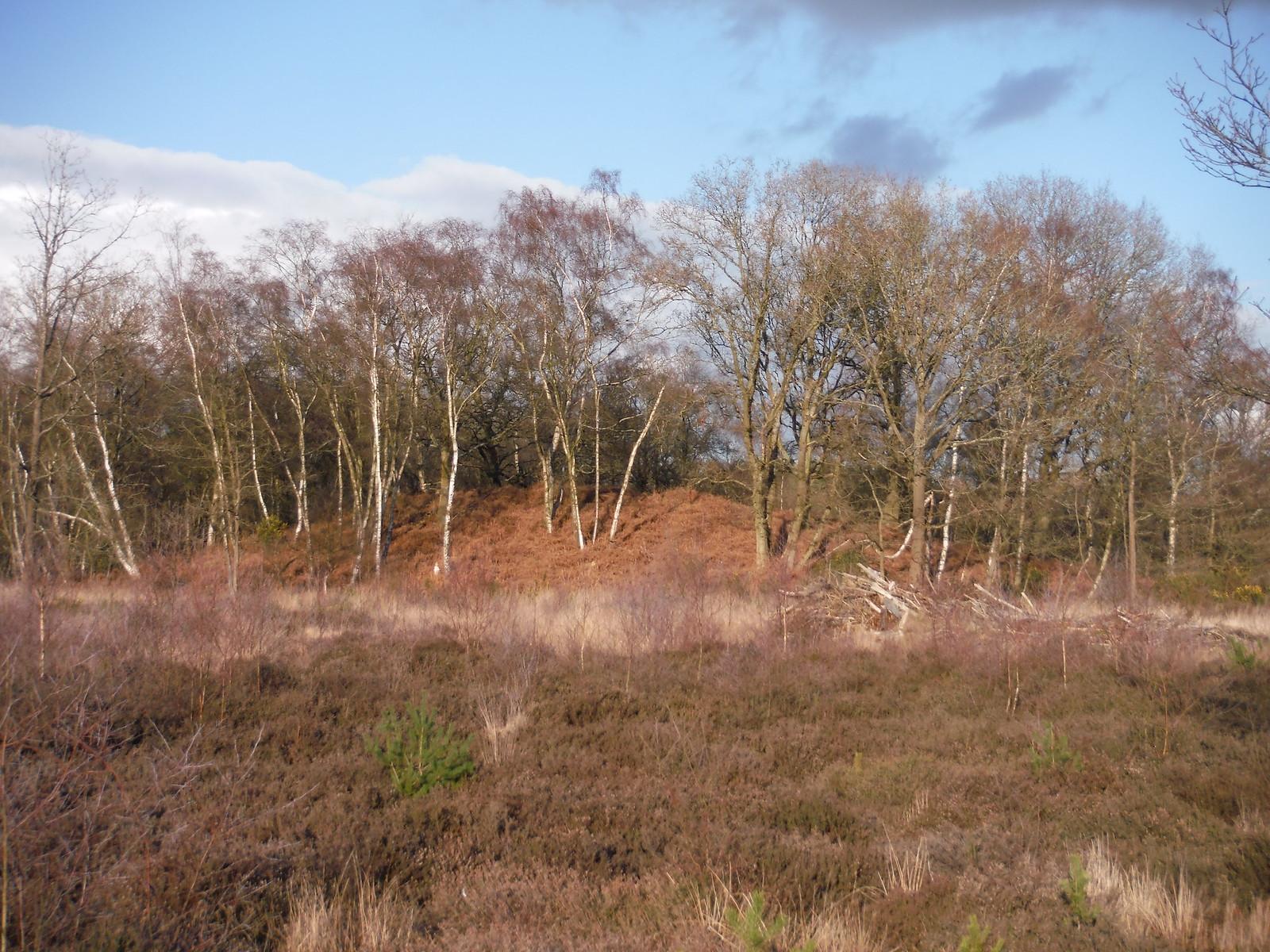 Smaller wooded hillock on Bucklebury Common SWC Walk 117 Aldermaston to Woolhampton (via Stanford Dingley)