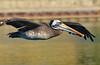 Pelicano, peruvian Pelican (Pelecanus thagus) by Pabloskino