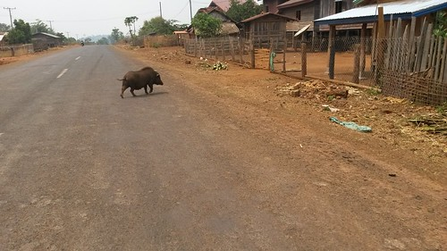 Pigs of Thateng