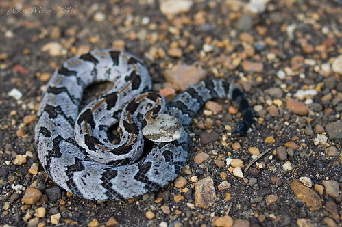 Juvi Canebrake Rattlesnake. Northern Louisiana, April 2016 | by rman2013