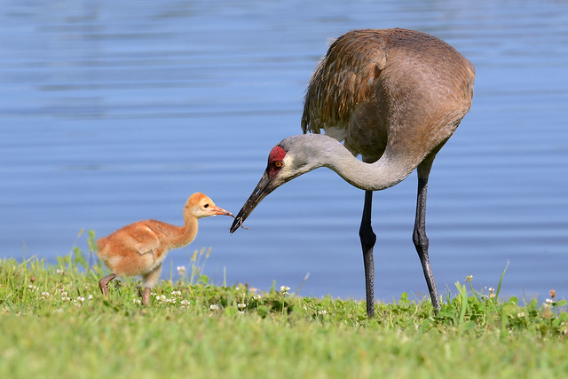 A hungry Florida sandhill crane colt accepts a tasty earthworm from its parent.