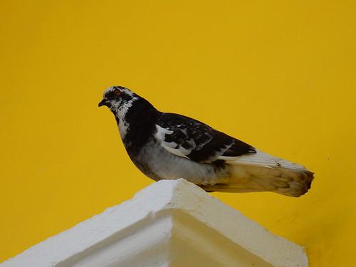 Mazatlan - duif