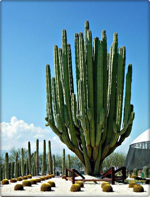 Pachycereus marginatus, cactus órgano..P1130604EP