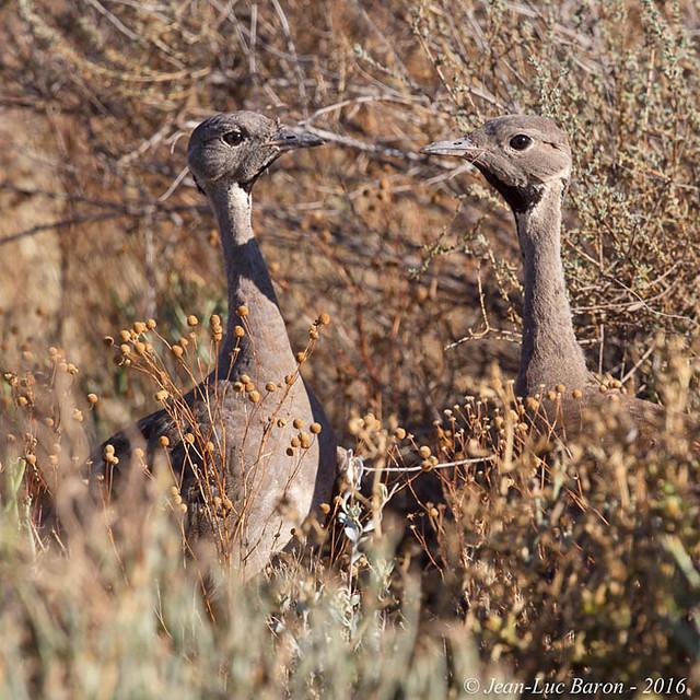 Karoo Korhaan (Eupodolis vigorsii)