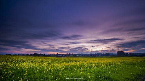 sunset sonomacounty mustardflowers