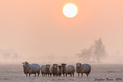 sky orange cold tree animal sunrise landscape sheep outdoor flock meadow