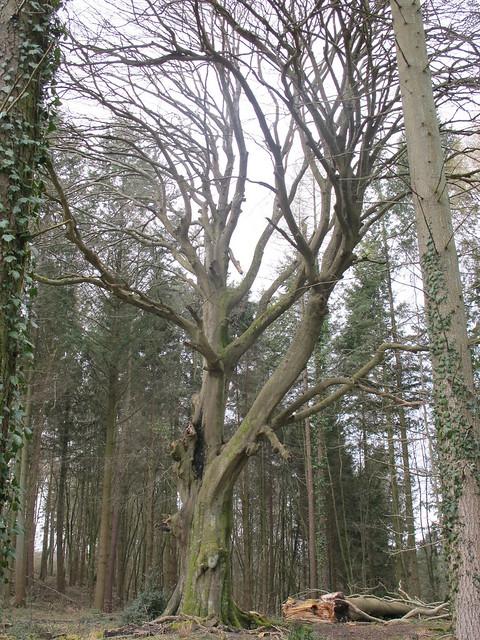 Old Beech Tree, Spearywell Wood SWC Walk 58 Mottisfont and Dunbridge to Romsey taken by Karen C.