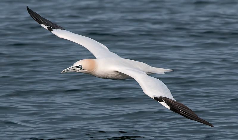 Adult Northern Gannet in flight