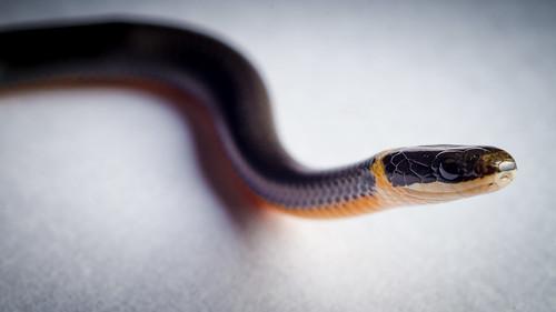 Baby Snake | by GVopal