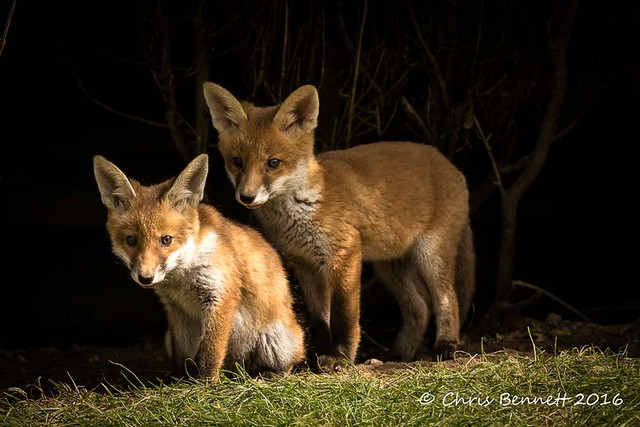 097 Portrait of red fox cubs