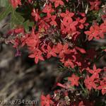 Scarlet Gilia