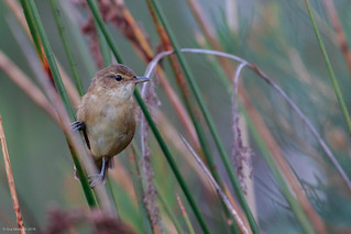 Australian Reed-Warbler | by gus.meredith