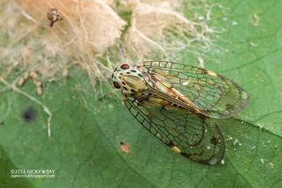 Net-winged planthopper (Nogodinidae) - DSC_6441