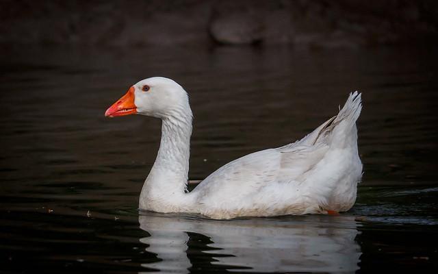 Embden Goose