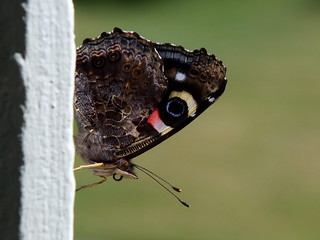 New Zealand red admiral (Vanessa gonerilla) | by falcoperegrinus12