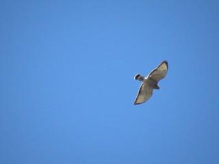 Broad-winged Hawk | by Justin Lee (NoNameKey)