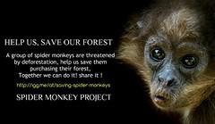 Help us saving endangered spider monkeys