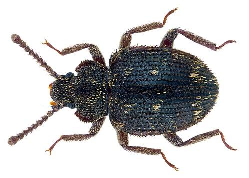 Atyscus argutus Pascoe   by urjsa