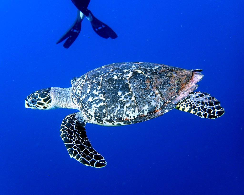 Hawksbill Sea Turtle 1 - Blackbird Caye - Belize 2016   Flickr