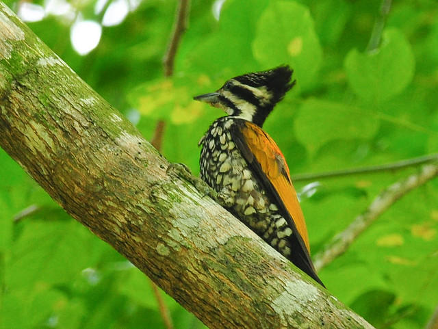 Olive-backed Woodpecker - 1