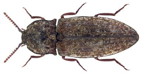 Agrypnus murinus (Linnaeus, 1758) Syn.: Adelocera murina (Linnaeus, 1758) | by urjsa