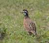 Northern Bobwhite (Colinus virginianus) - Indian River County, Florida by JFPescatore