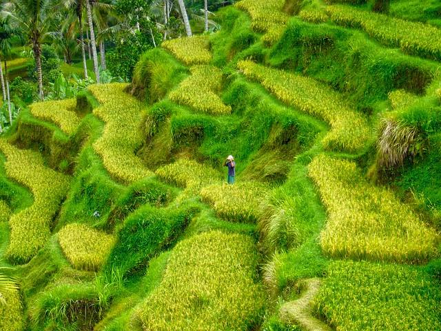 Rice terraces on Bali, Indonesia