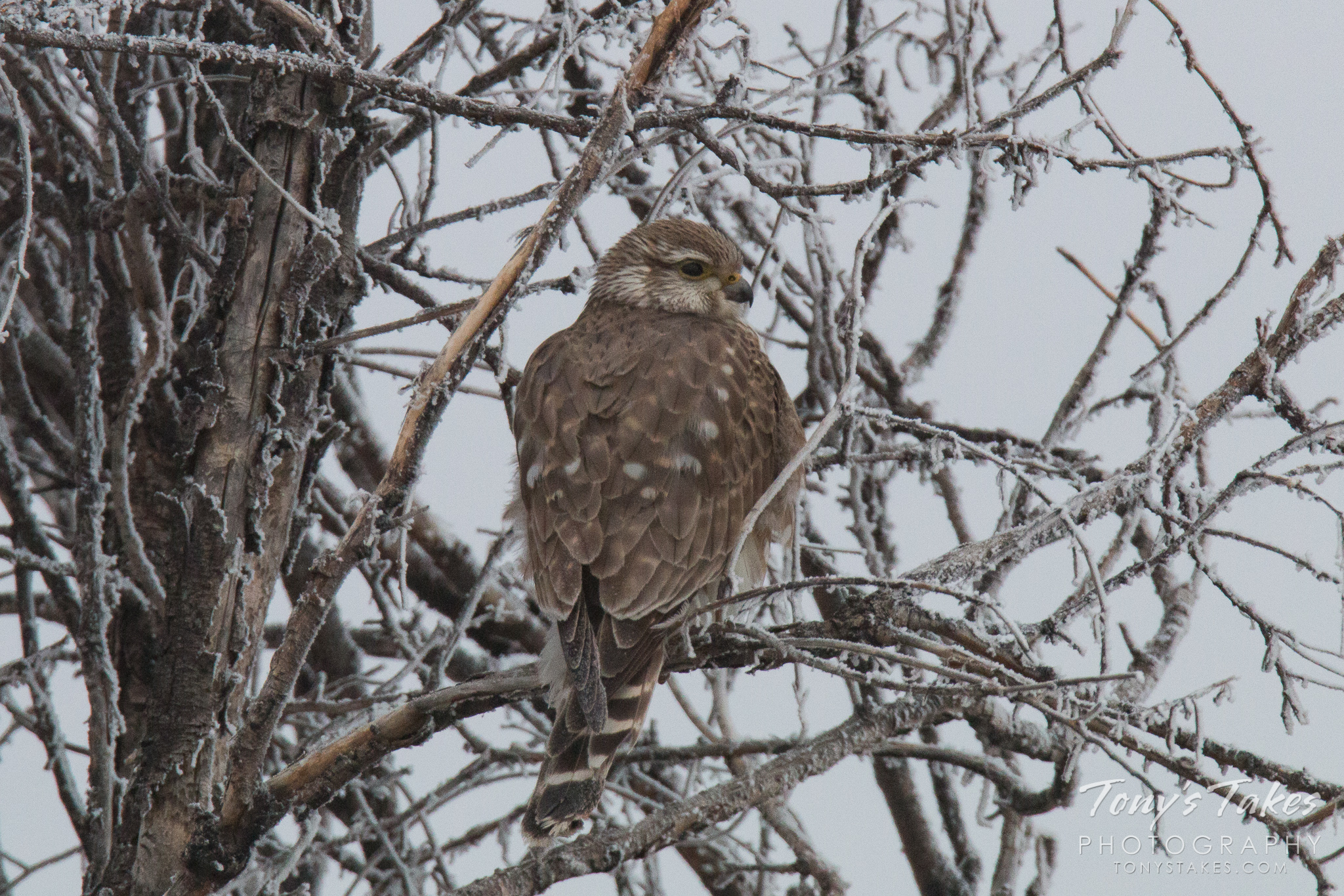 A frosty and foggy Merlin