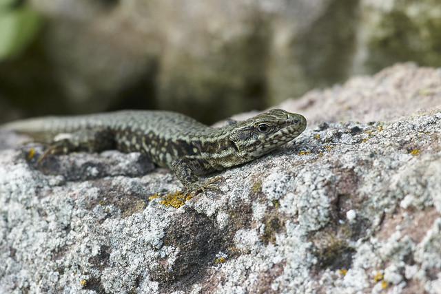 Echte Eidechse / Lizard L1031558