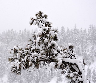 A SNOWY TREE BRANCH,  TULAMEEN,  BC.