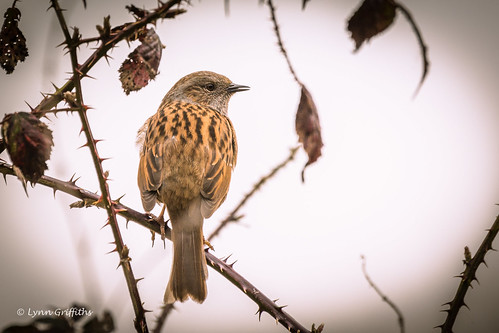 Dunnock 710_8701.jpg | by Mobile Lynn